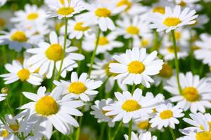 Gänseblümchen. Foto: Shutterstock