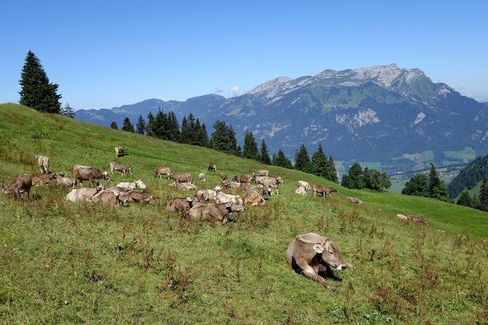 Kühe grasen mit Blick auf die Alpen. Foto: Walter Aeschimann.
